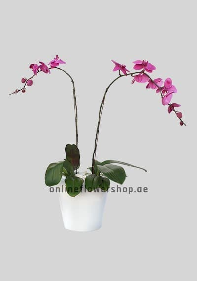 Double Phalaenopsis Plant Lavender