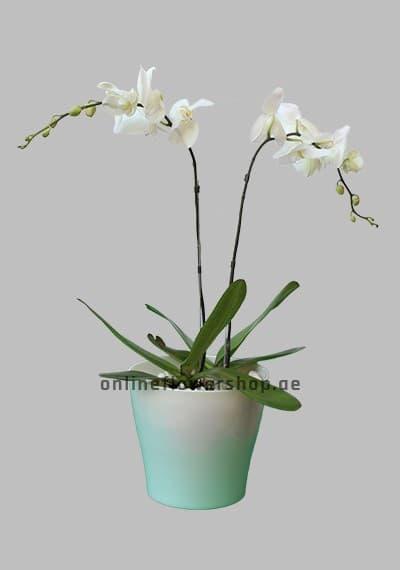 Double Phalaenopsis Plant White